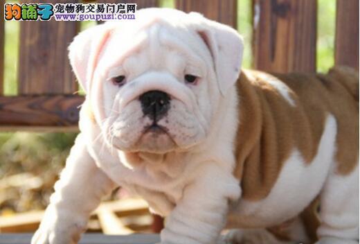 天津出售英国斗牛犬幼犬品质好有保障终身售后协议