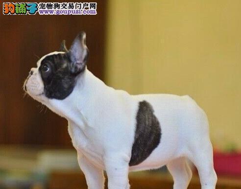 极品法国斗牛犬出售 自家繁殖保养活 质保健康90天