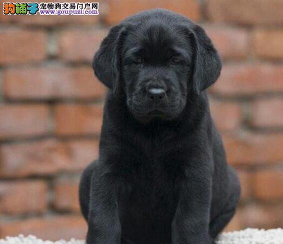 出售拉布拉多幼犬、完美品相 品质第一、可送货上门