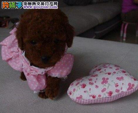 出售贵宾犬宝宝 完美品相 品质第一 签订终身合同