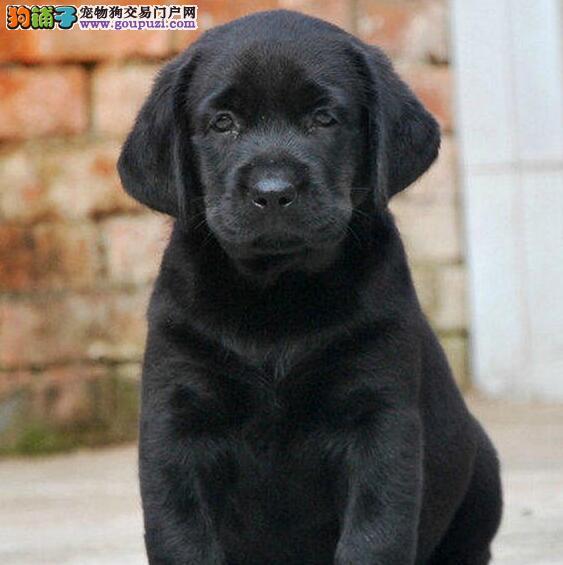 没有攻击性和智能高的拉布拉多犬郑州找新家 个性温和