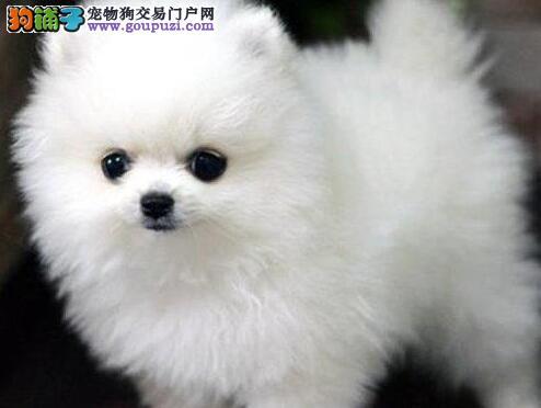 成都本地出售高品质博美犬宝宝质保三年支持送货上门