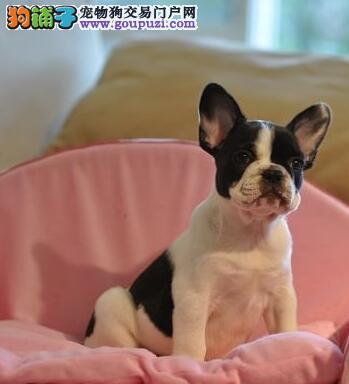 CKU犬舍认证兰州出售纯种法国斗牛犬我们承诺售后三包