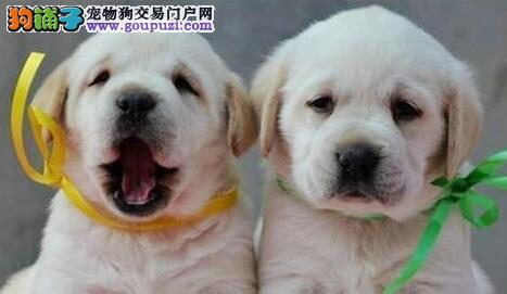 繁育基地直销纯种上海拉布拉多犬 售后有保证