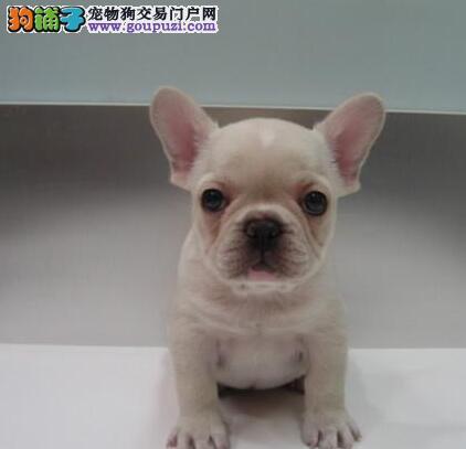 出售天津法国斗牛犬健康养殖疫苗齐全提供护养指导