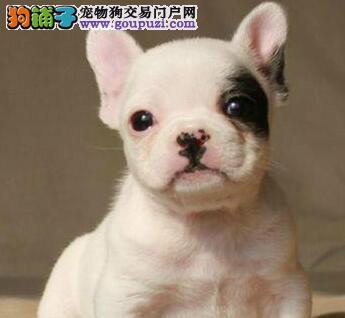 出售高品质斗牛犬 来西安犬舍购买可办理血统证书