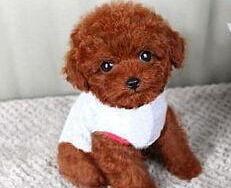 泰迪犬CKU认证犬舍自繁自销优质服务终身售后