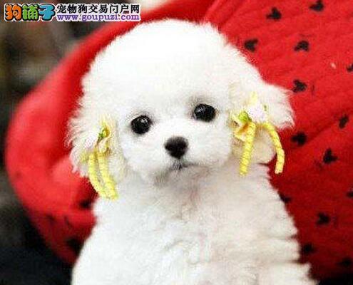 六种颜色齐全的泰迪犬找爸爸妈妈 南京市内了免费送货