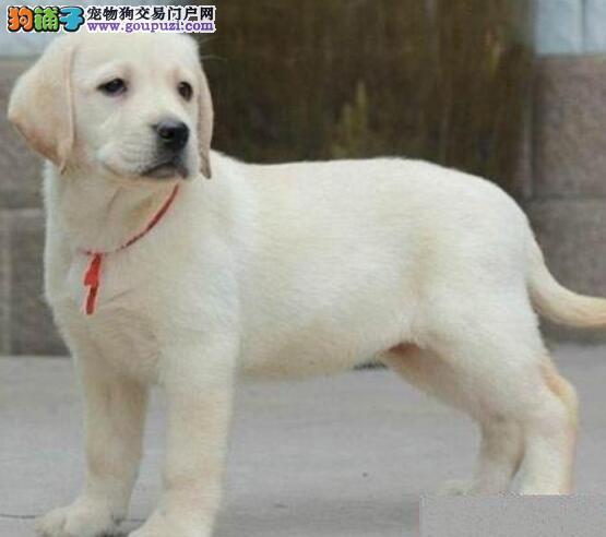 郑州家养纯种拉布拉多导盲犬待售 上门优惠赠送用品