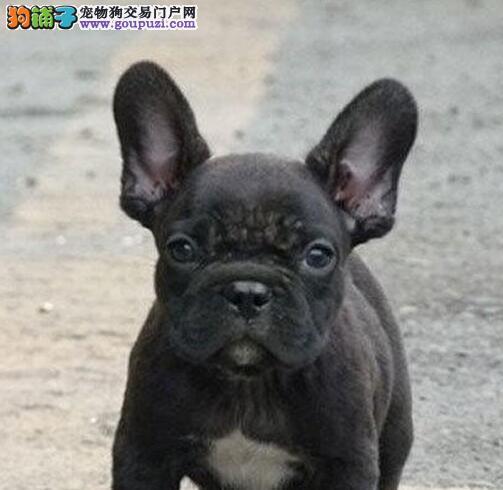 售赛级品质超高气质的南京斗牛犬 螺旋尾巴大鼻筋品相