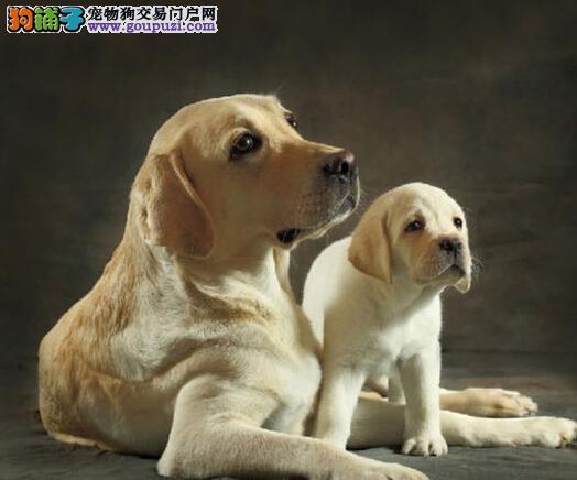 自家繁殖高品质拉布拉多导盲犬欢迎上门选购