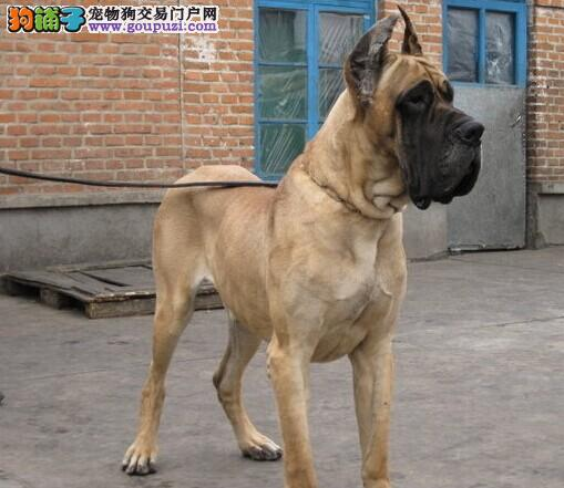 出售大丹犬幼犬、自家繁殖保养活、全国空运到家