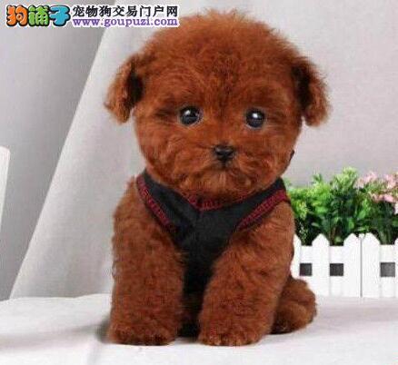 高品质纯种健康韩系血统泰迪犬出售中 欢迎来西安购买