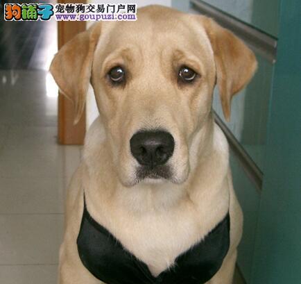 顶级优秀纯正西安拉布拉多犬犬舍直销 可办理血统证书