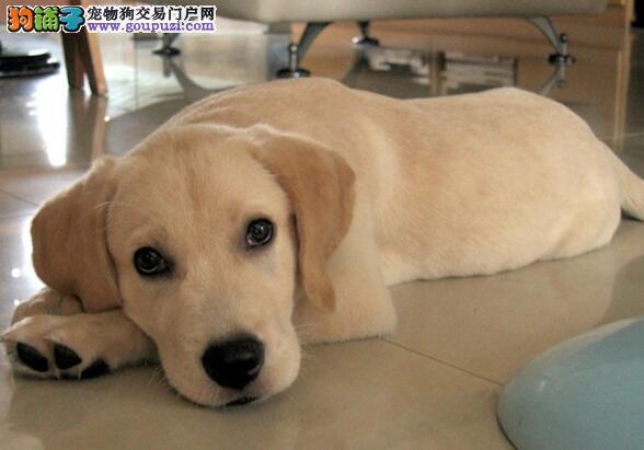 大头高品质小7拉布拉多幼犬郑州出售 健康纯正好血统