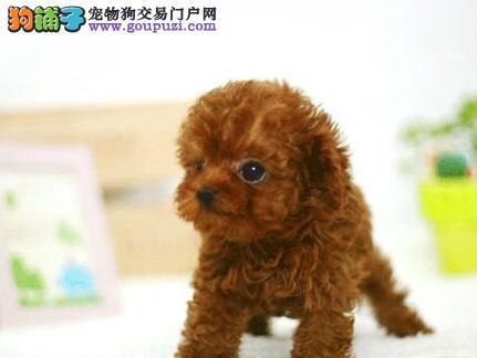 转让茶杯玩具血系的贵阳泰迪犬 建议大家上门选购幼犬