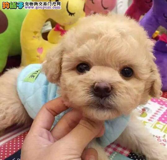 纯种赛级泰迪犬榆林找新家 专业繁殖 养的顺心买的安心