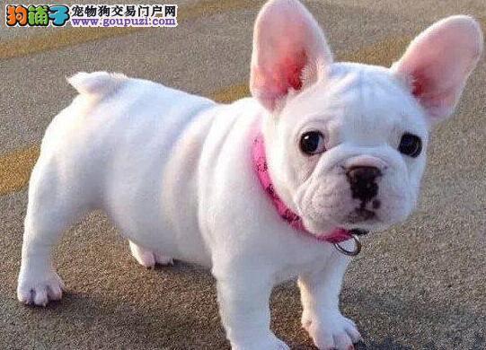 郑州正规狗场直销顶级纯白色的斗牛犬 多窝供您选购