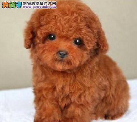 红河州上门犬业出售泰迪犬/当天全款包邮·送货上门