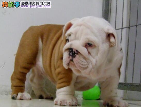 正规犬舍出售纯种斗牛犬包品质及健康。信誉保证