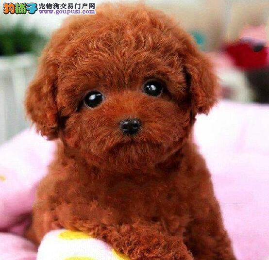 出售可爱超小体型的兰州泰迪犬 喜欢的朋友不要错过