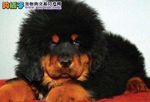 顶级优秀品质藏獒特价出售 乌鲁木齐周边可送狗到家