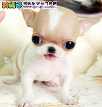 齐齐哈尔正规狗场直销大眼超小体吉娃娃包养活