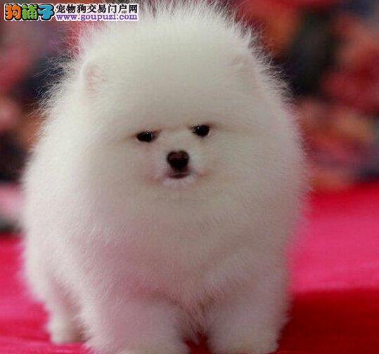 纯种哈多利版博美犬直销 乌鲁木齐专业犬舍繁殖价格低