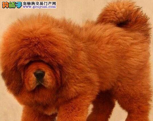 专业狗场繁殖出售武汉原生态藏獒 优质品种 健康第一