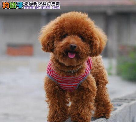 出售泰迪犬幼犬品质好有保障终身质保终身护养指导