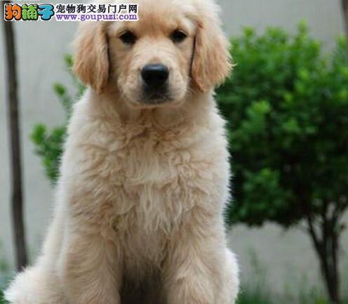 直销金毛幼犬 可看狗狗父母照片 签订正规合同