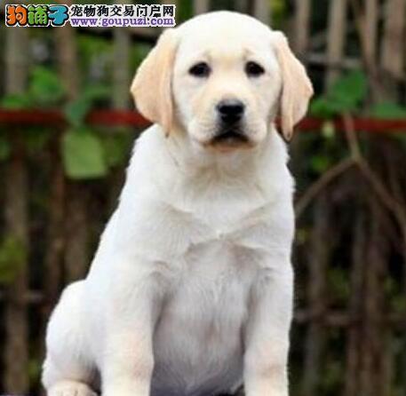 青岛自家狗场繁殖直销拉布拉多幼犬喜欢加微信可签署协议