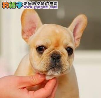 法国斗牛犬幼犬出售中、公母均有颜色齐全、绝对信誉保证