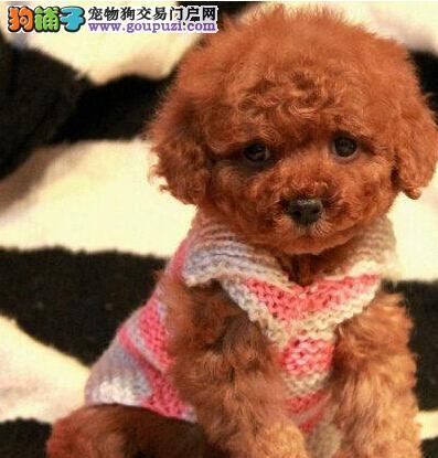 精品超时尚纯种泰迪犬新乡低价直销 活泼可爱 毛色也好