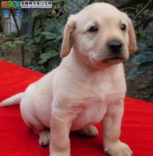 柳州繁殖基地直销大头版拉布拉多犬 终身免费售后服务
