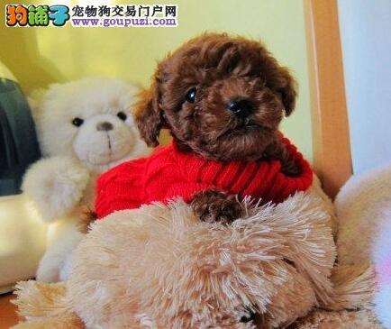 国外引进纯种健康韩系邯郸贵宾犬 质量三包终身有质保