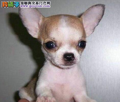 犬舍直销品种纯正健康吉娃娃包售后包退换