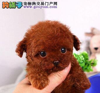 九江家养纯种泰迪犬优惠促销中颜色纯可见父母