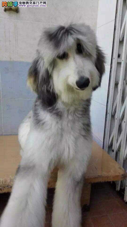 自家繁殖阿富汗猎犬出售公母都有我们承诺售后三包