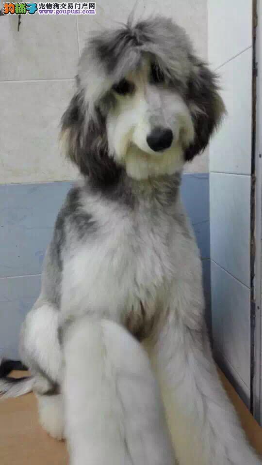 百分百健康纯种阿富汗猎犬热卖中国际血统认证