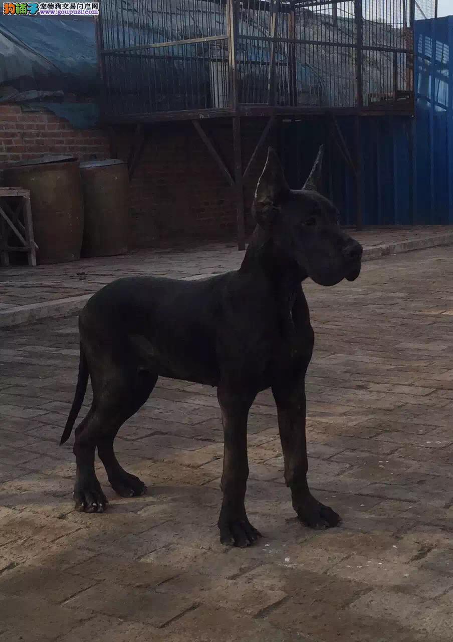 大丹犬幼犬出售中、保证血统纯度、提供养狗指导