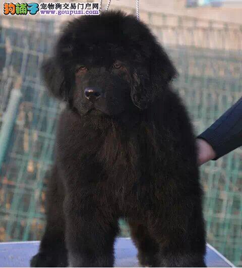 纯种纽芬兰犬出售、CKU认证血统纯正、诚信经营保障