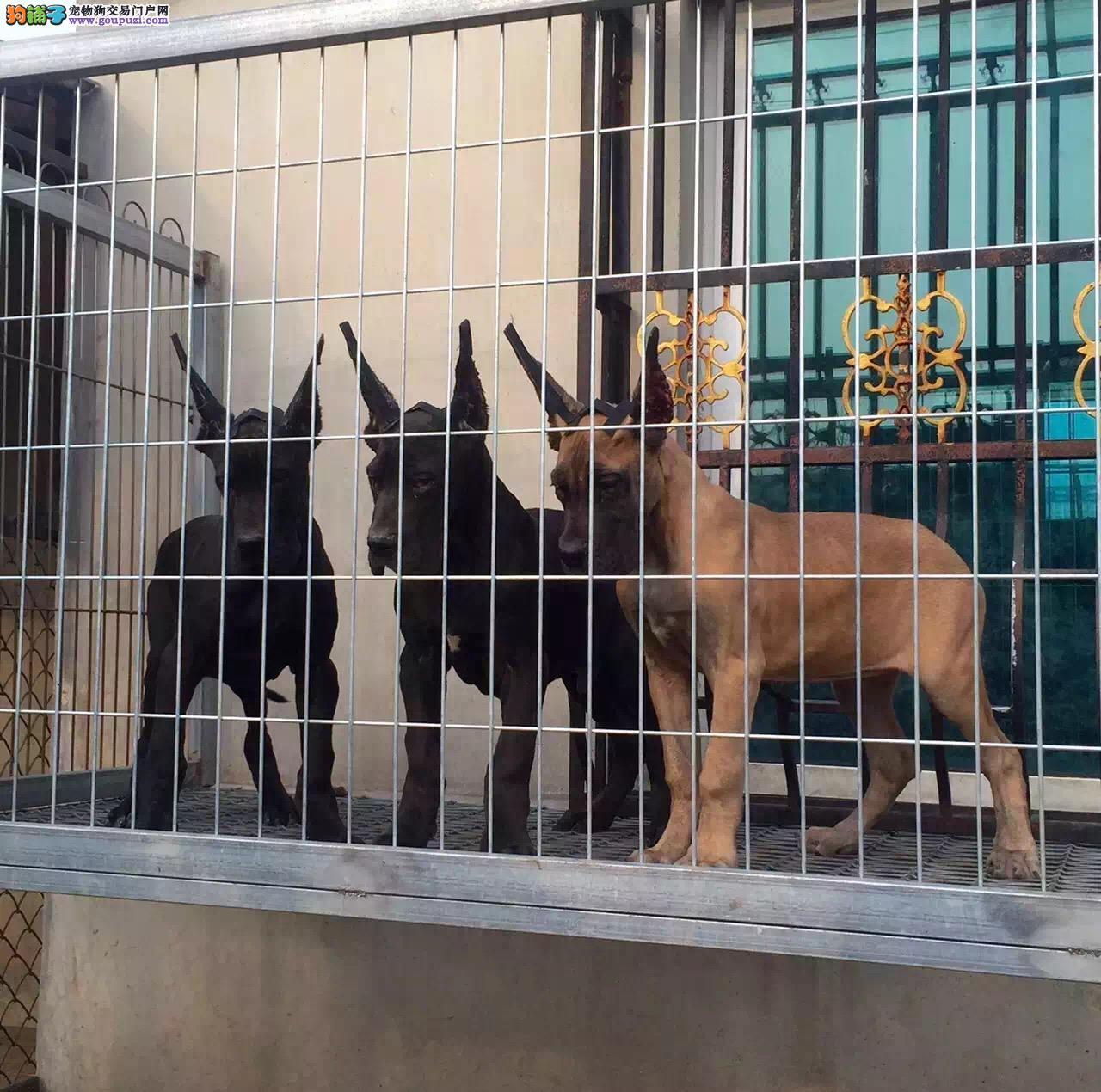 泉州自家繁殖的纯种大丹犬找主人赛级品质保障