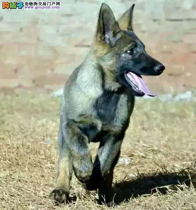 正规犬舍高品质狼狗带证书赠送全套宠物用品