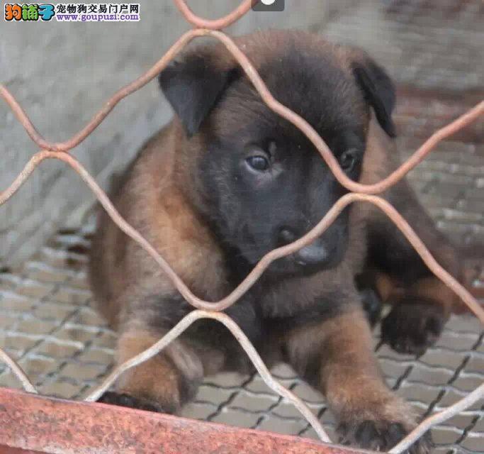 实体店低价促销赛级马犬幼犬以品质惊世人