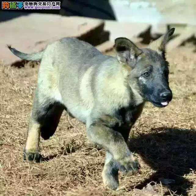狼狗CKU认证犬舍自繁自销赛级品质保障