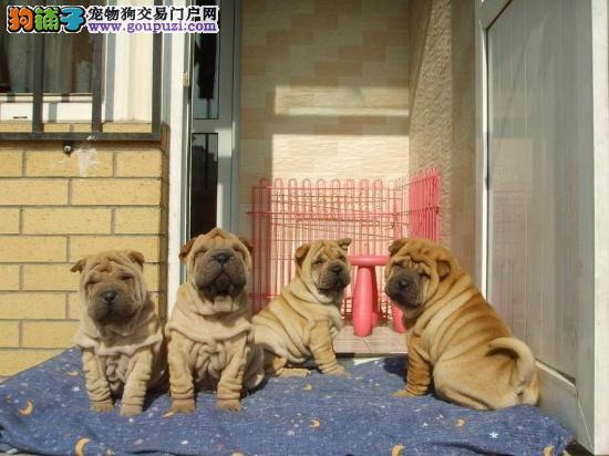 真实犬舍 ,实物拍摄,出售纯种沙皮犬,可上门看狗