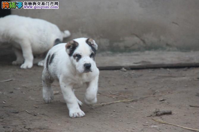 专业正规犬舍热卖优秀的中亚牧羊犬签署质保合同