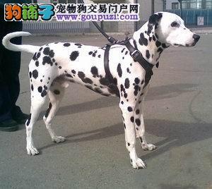 拉风版,纯种斑点宝贝出售,支持视频看狗