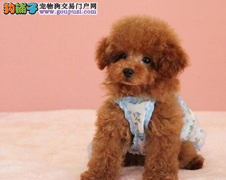 热销多只优秀的纯种泰迪犬幼犬品质优良诚信为本